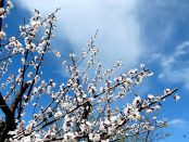 apricot-tree-in-bloom-spring